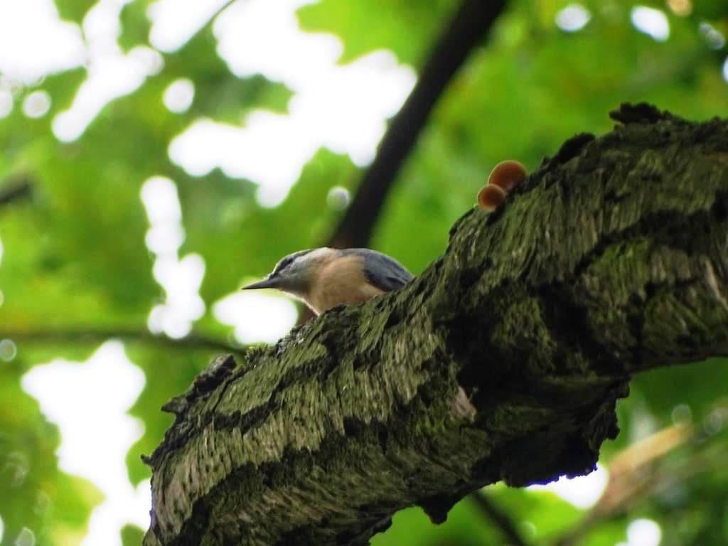 ścisła ochrona gatunkowa - ptaki - kowalik