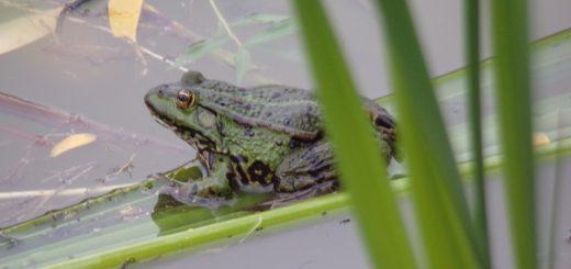 żaba wodna - opis i charakterystyka płaza