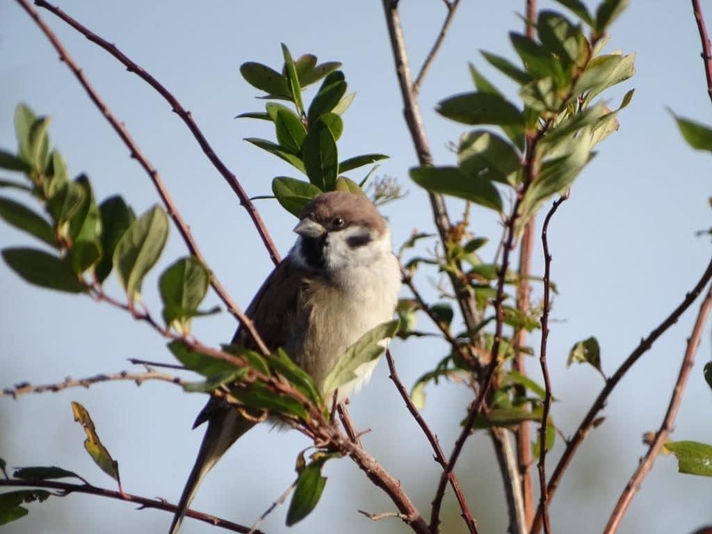 Mazurek - jaki to ptak
