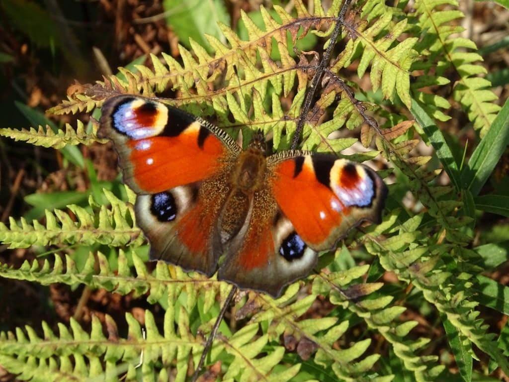 owady - motyl - rusałka pawik