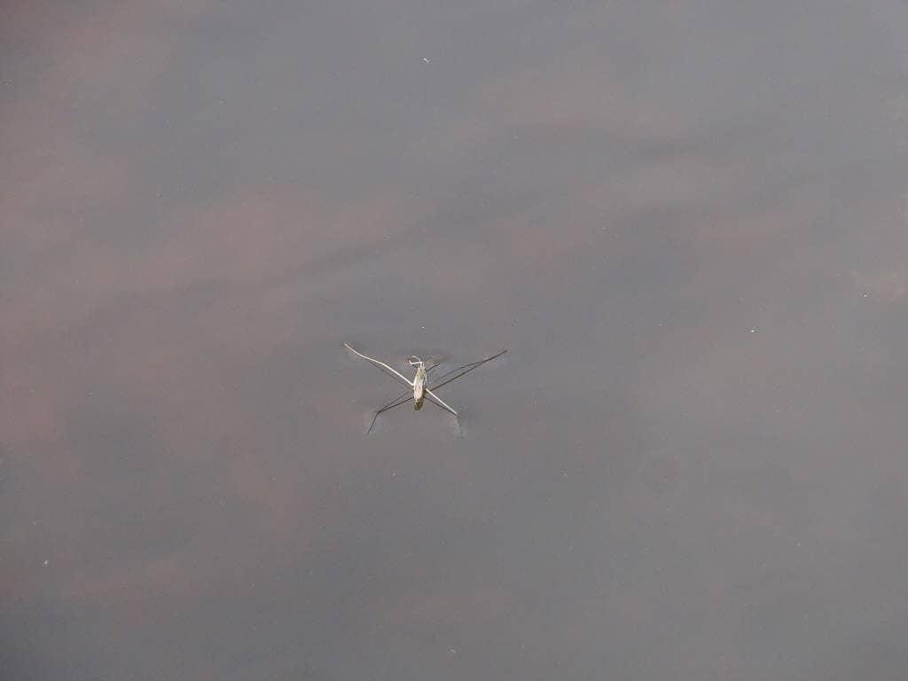 Nartnik duży - pająk wodny