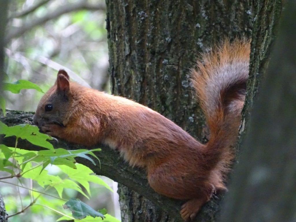 Wiewiórka pospolita 1