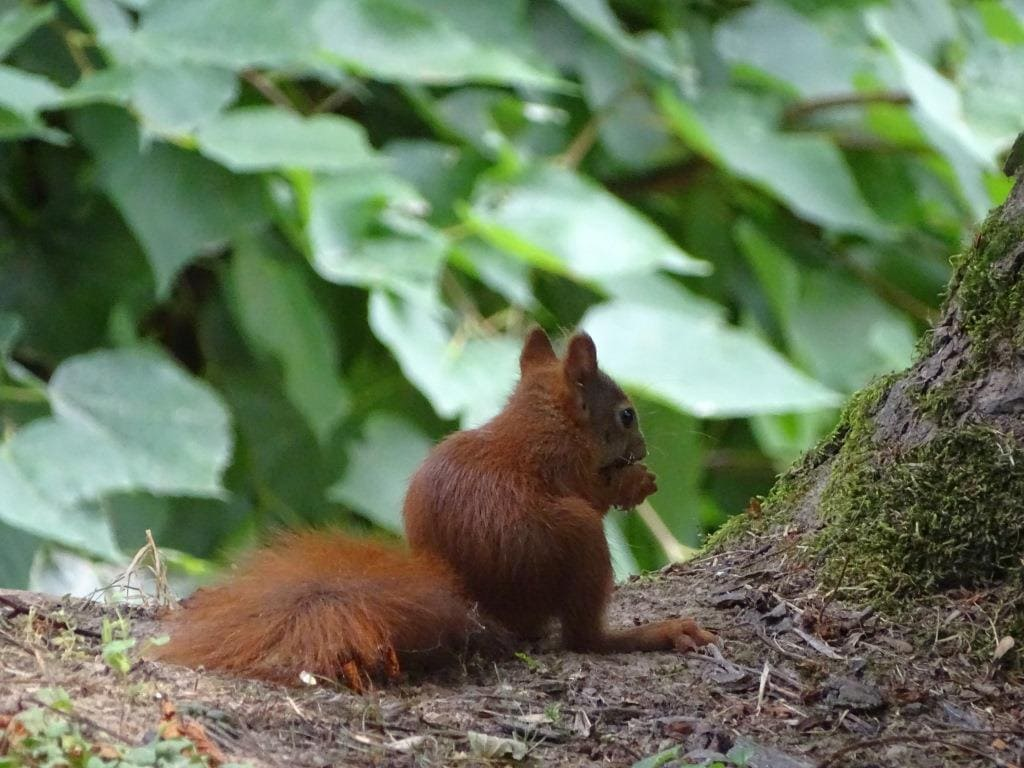 wiewiórka pospolita podczas obiadu