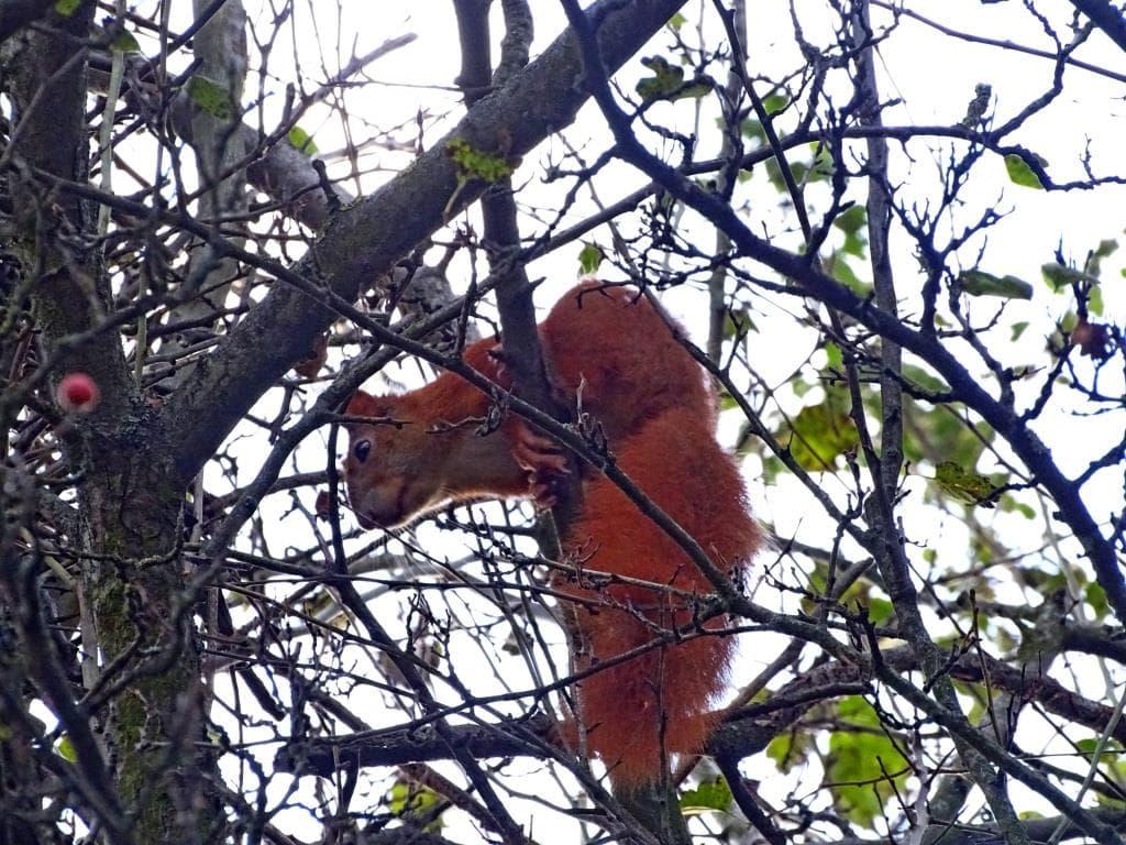 Wiewiórka pospolita 2