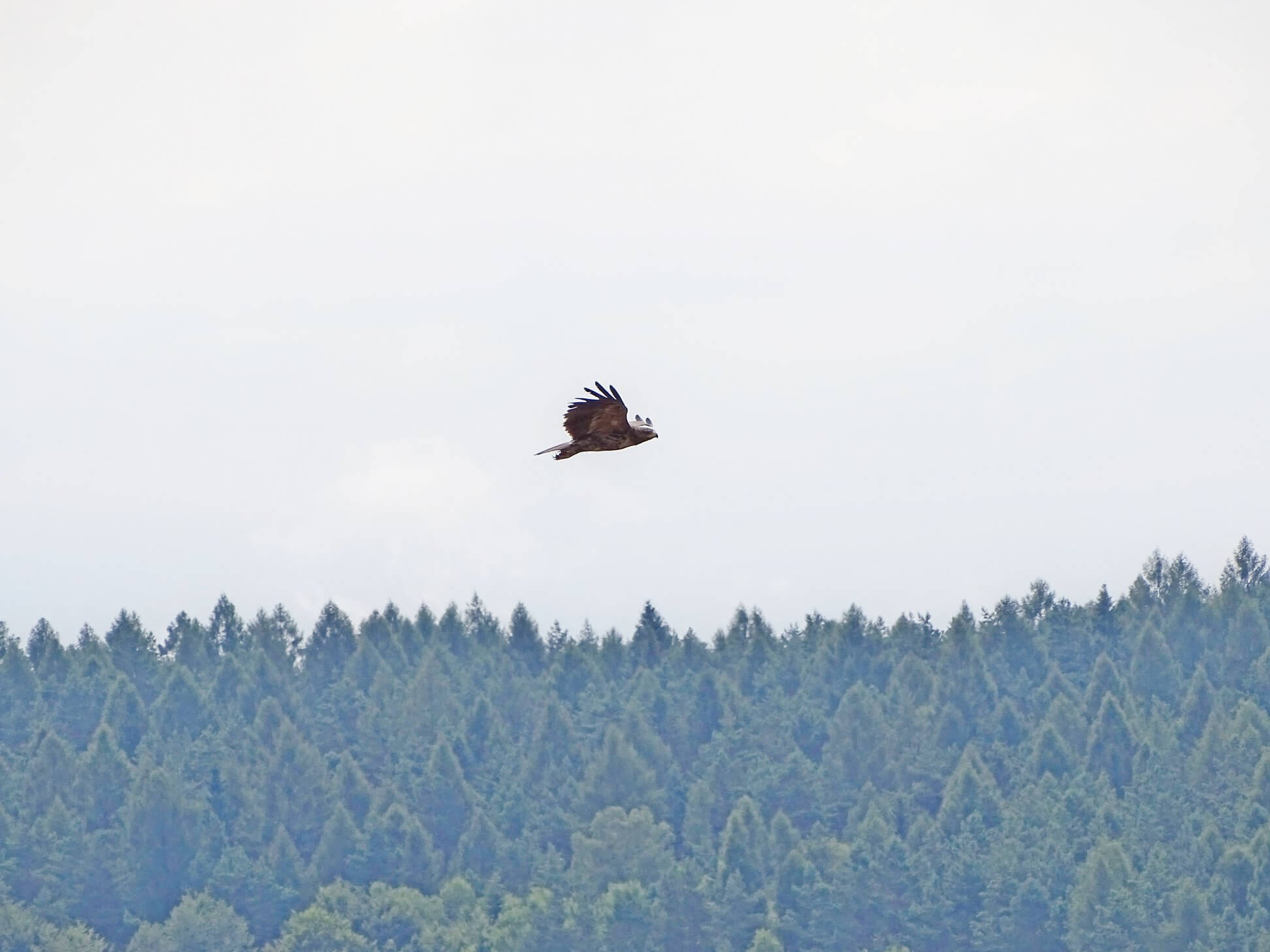 orlik krzykliwy