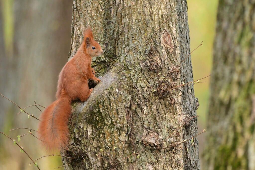 wiewiórka-pospolita