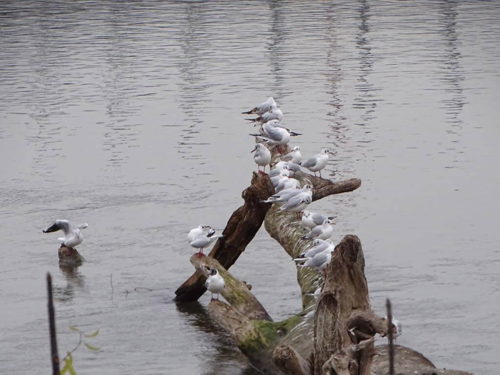 Ptaki Warszawy - czyli spacer  ornitologiczny po stolicy 15