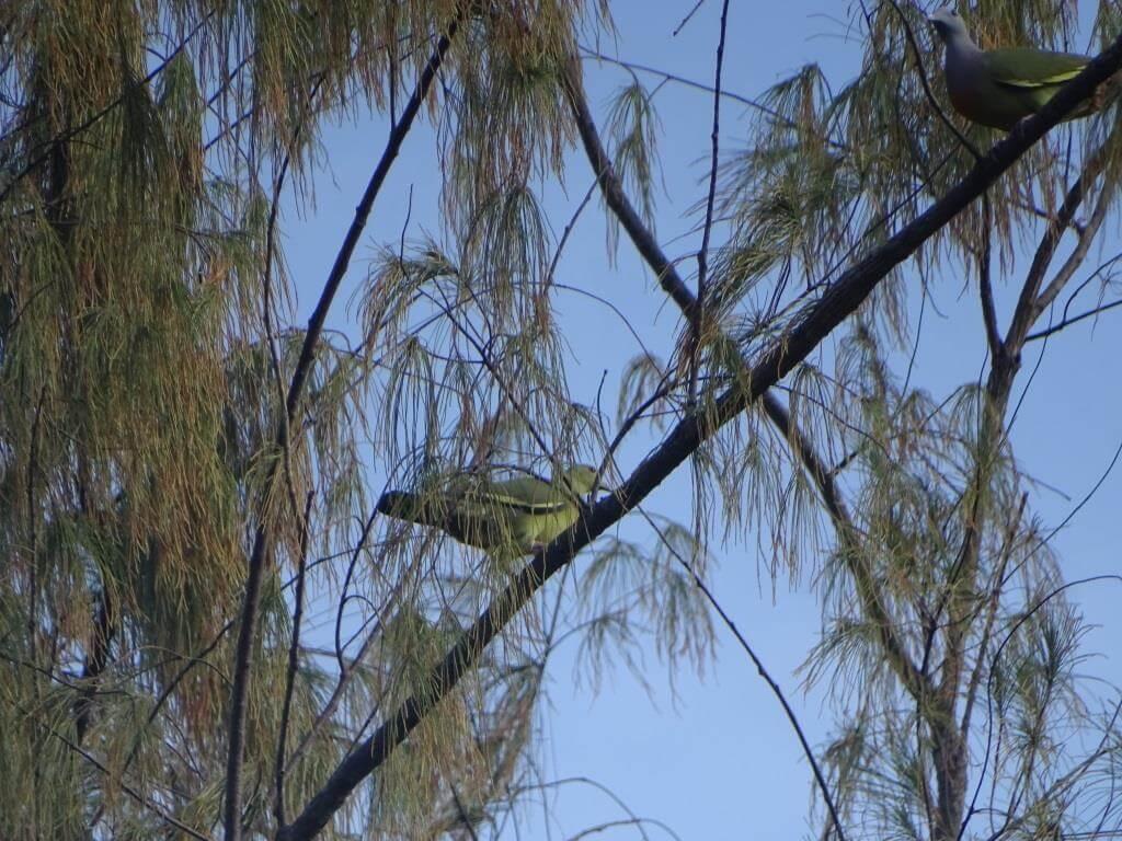 Treron zielonolicy