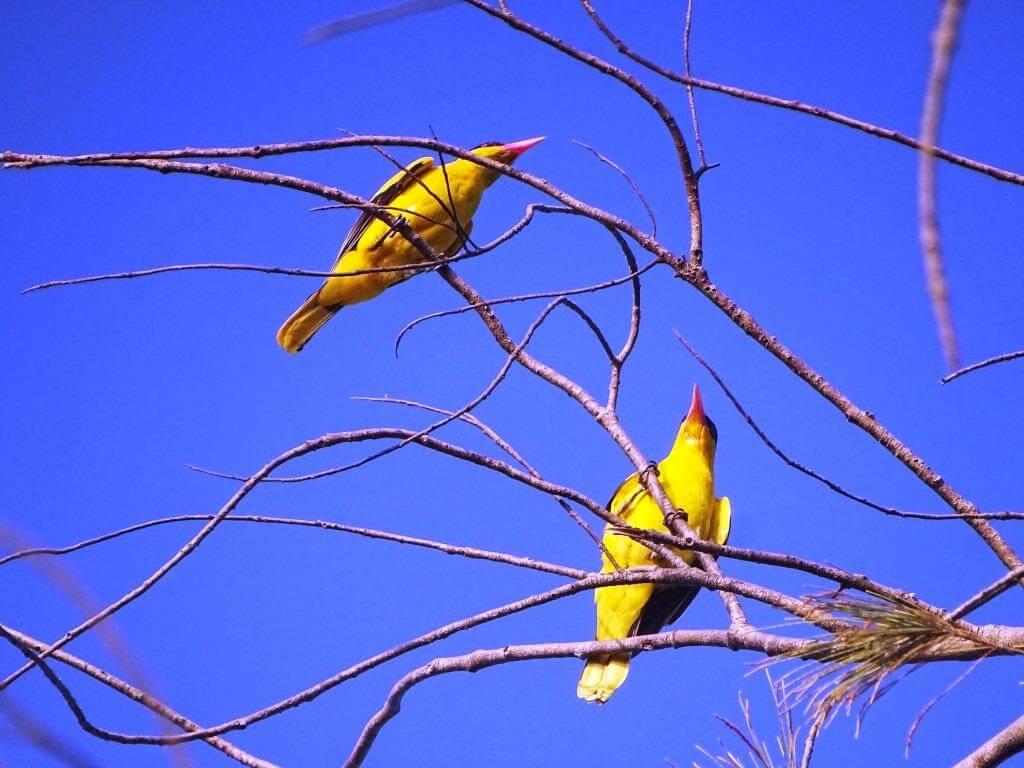 Wilga żółtogrzbieta