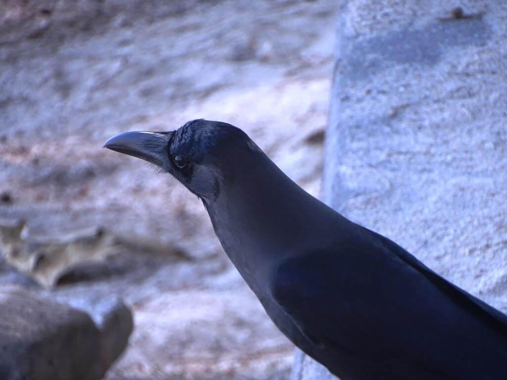 Wrona wielkodzioba