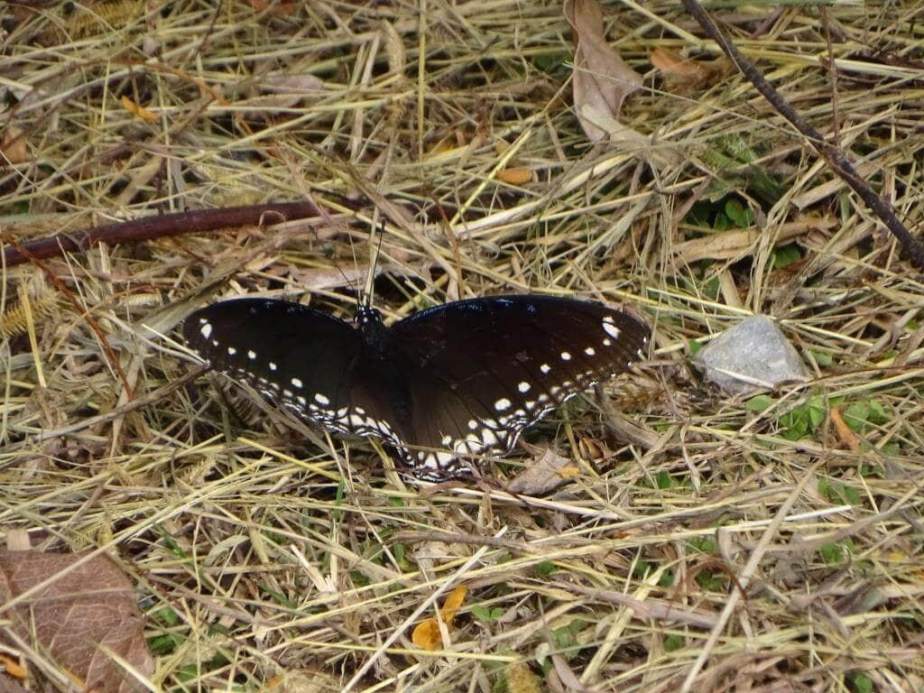czarny motyl tajlandia