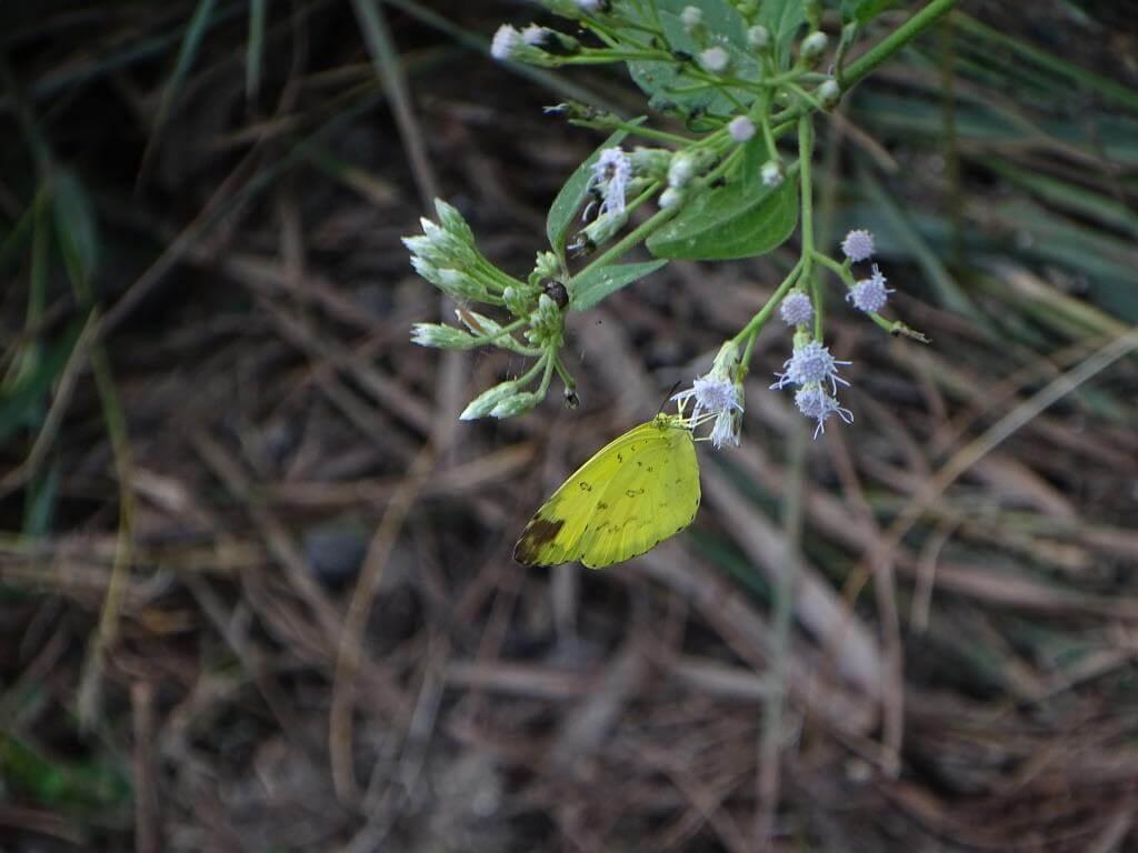 żółty motyl tajlandia