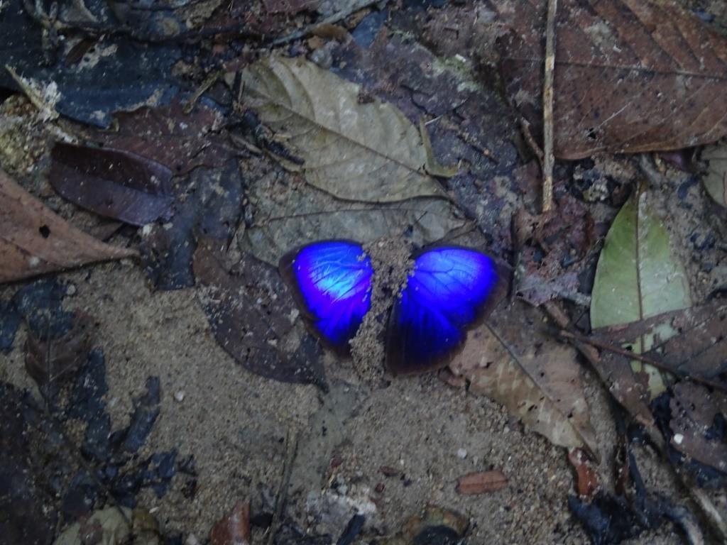 błękitny motyl - tajlandia
