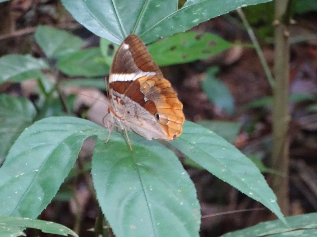 motyl - phuket, Tajlandia