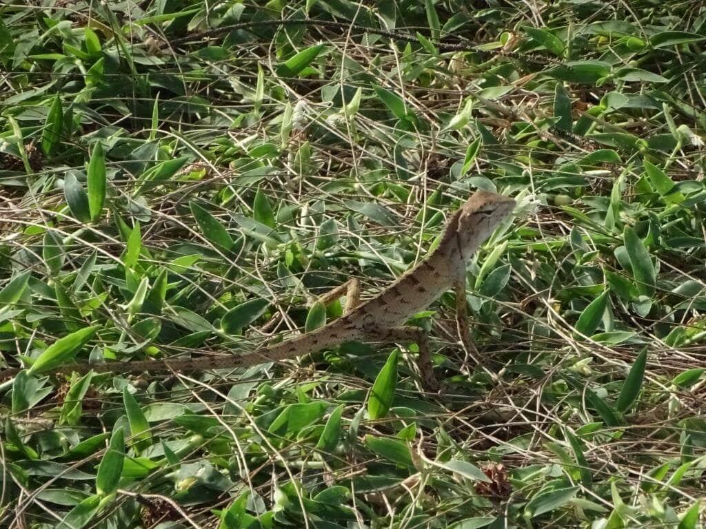 gady - jaszczurka - tajlandia