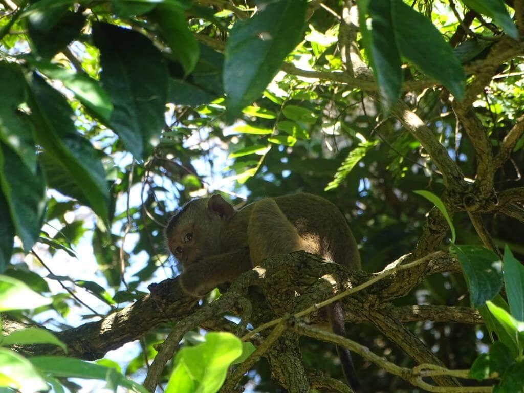 młody makak