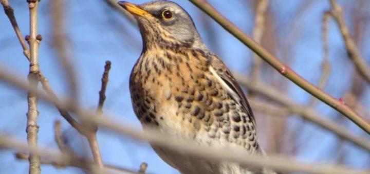 kwiczoł opis i charakterystyka ptaka