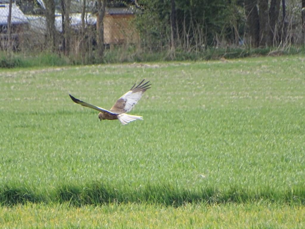 birdwatching w Poleskim Parku Narodowym - błotniak stawowy