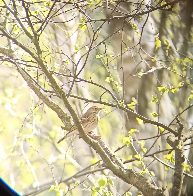 Świergotek drzewny - birdwatching w poleskim parku narodowym