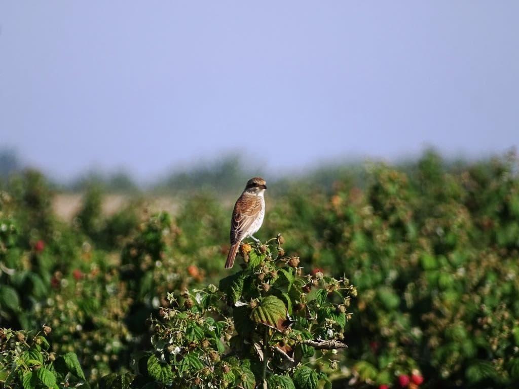Samica gąsiorka polująca z krzaków malin