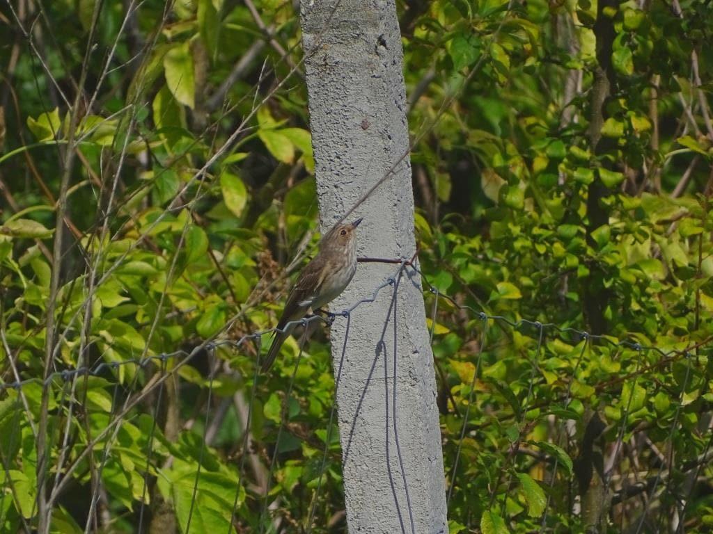 Muchołówka szara - charakterystyka i opis ptaka 1