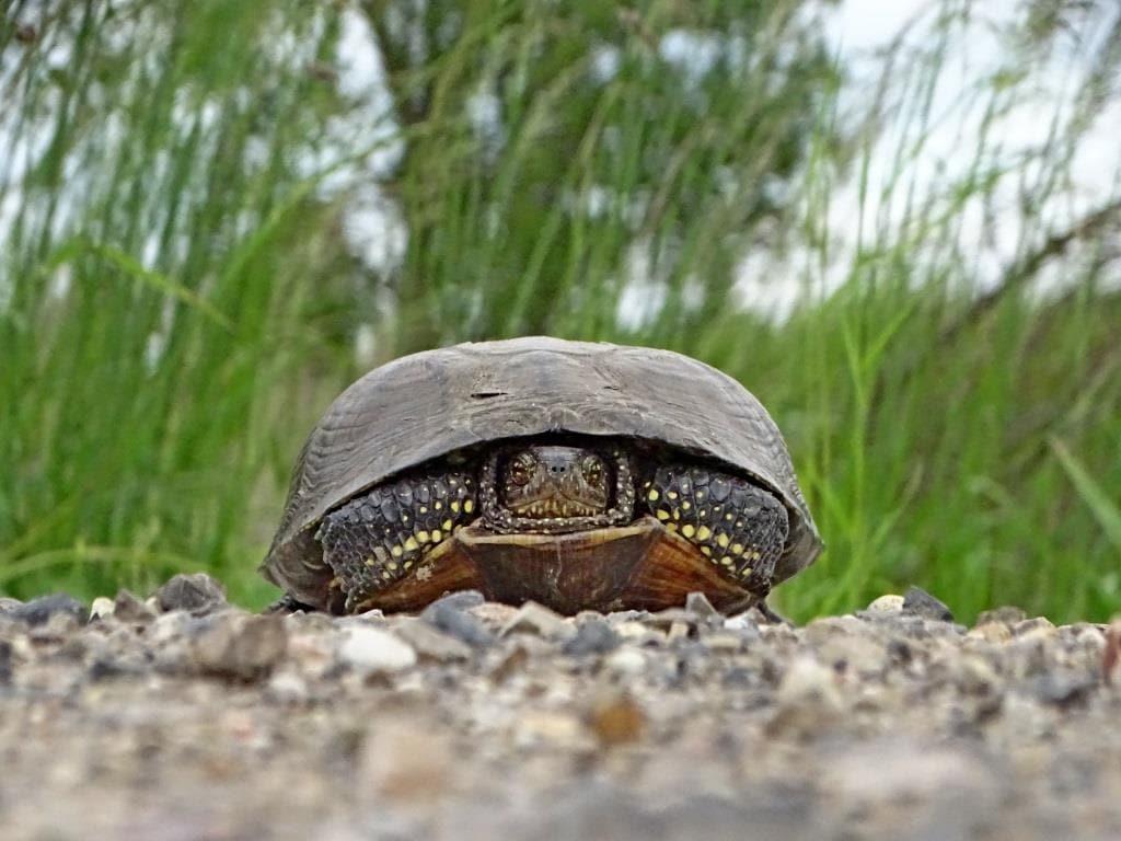 żółw błotny - ochrona gatunkowa zwierząt