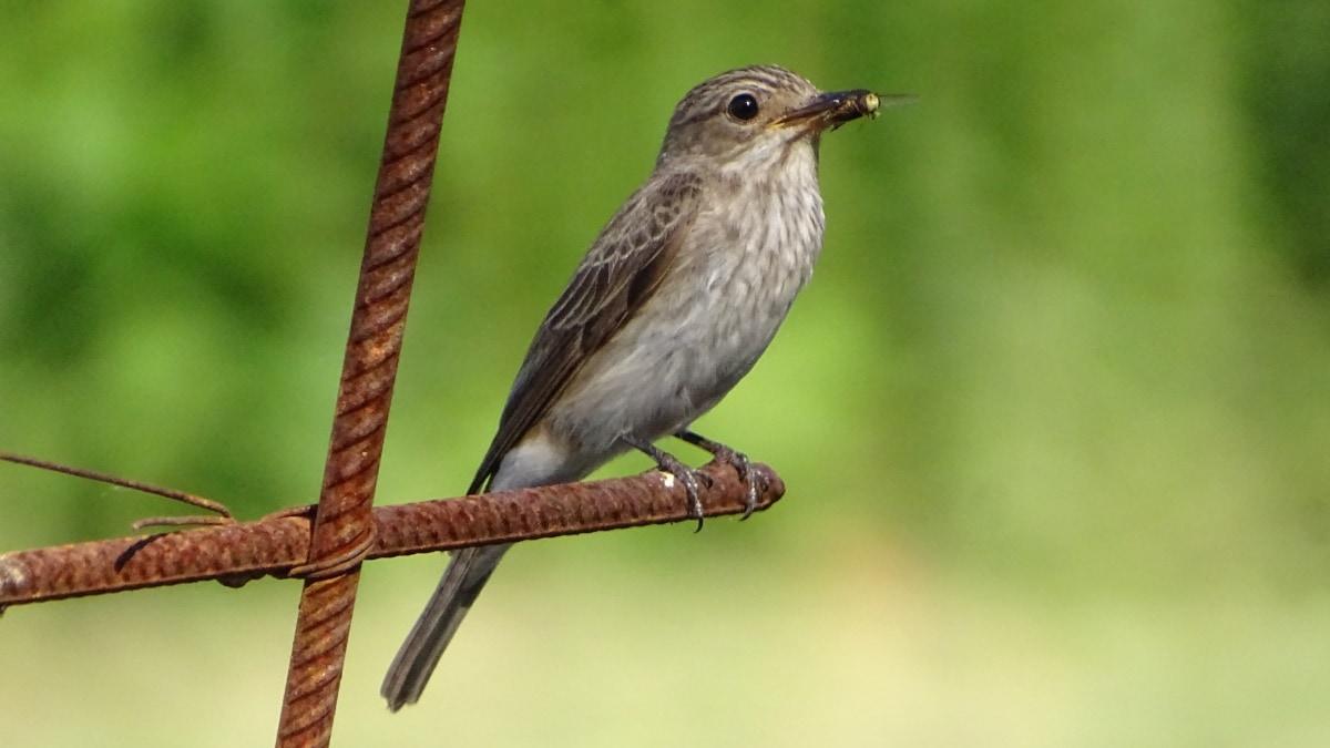 muchołówka szara
