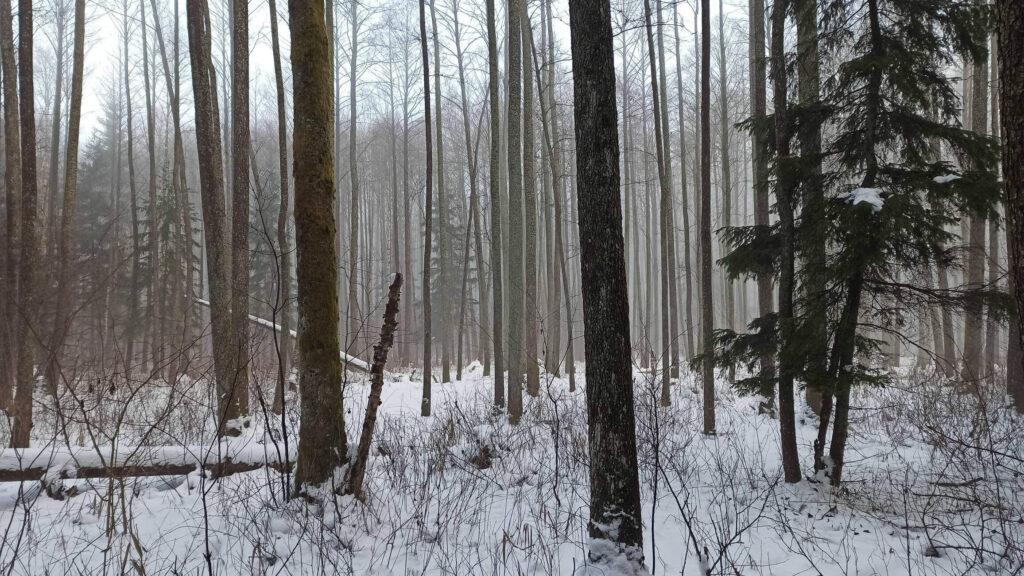 Puszcza Białowieska zimą 8