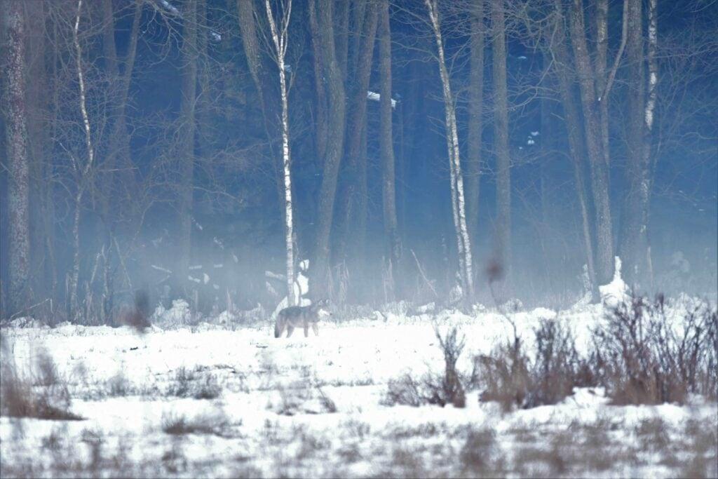 wilk szary - puszcza białowieska zimą