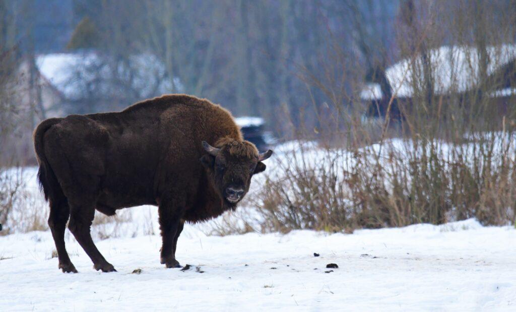 Żubr - puszcza białowieska zimą
