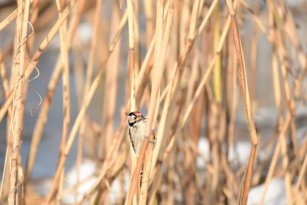 Dzięciołek zimą żeruje na trzcinie