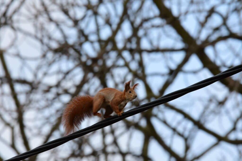 Wiewiórka zwyczajna