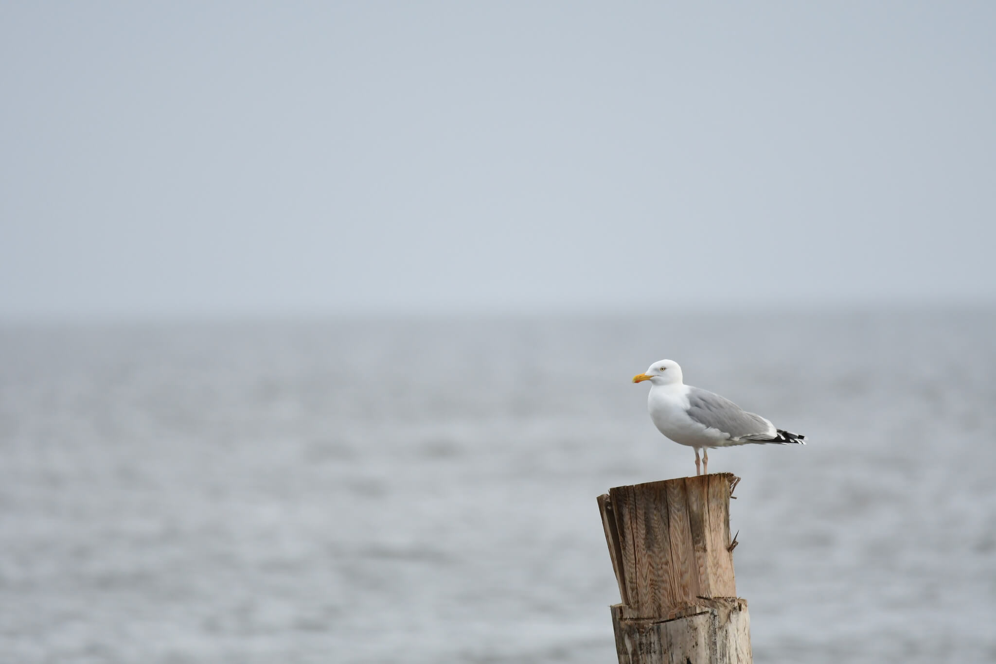 Mewa białogłowa