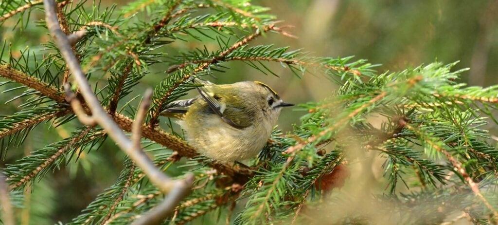 Mysikrólik - najmniejszy polski ptak 1