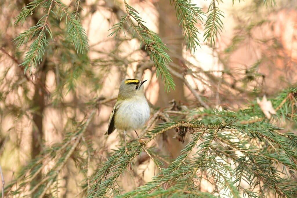 Mysikrólik - najmniejszy ptak w polsce