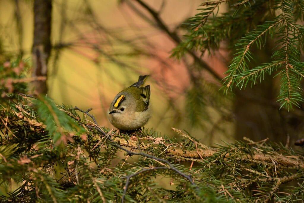 mysikrólik - najmniejszy ptak w Europie