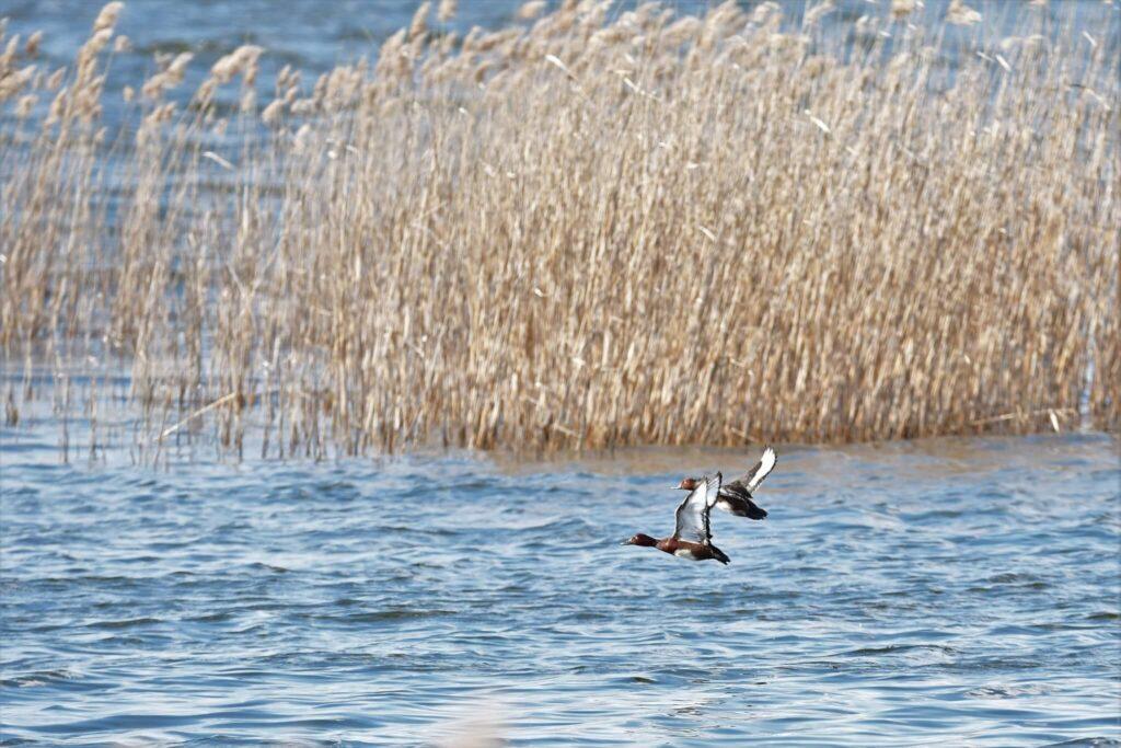 Podgorzałki - jeden z najrzadszych gatunków ptaków jakie można spotkać w Poleskim Parku