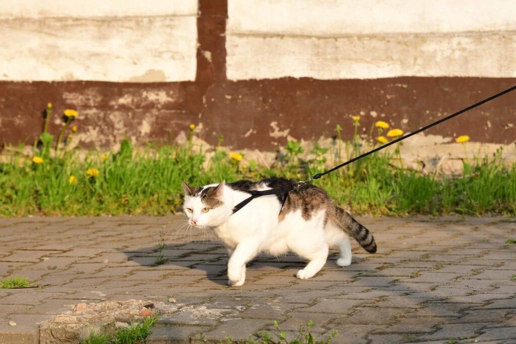 Koty to urodzeni łowcy, próbują polować nawet kiedy wyprowadza się je na smyczy