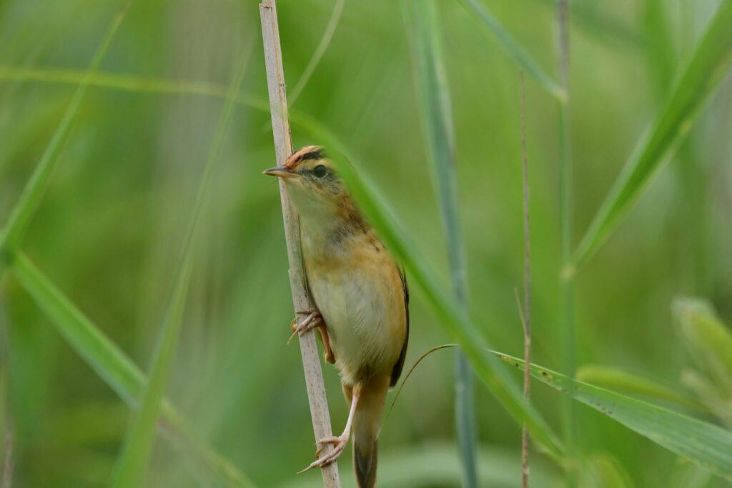 od czego zacząć obserwacje ptaków - wodniczka bardzo rzadki ptak w Polsce