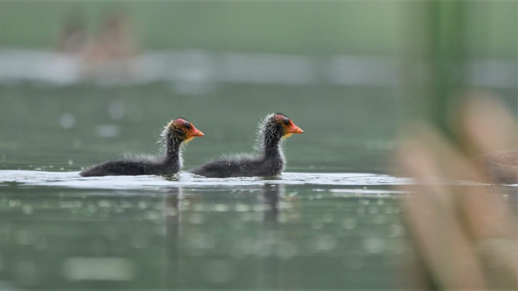 Łyska zwyczajna - młode ptaki