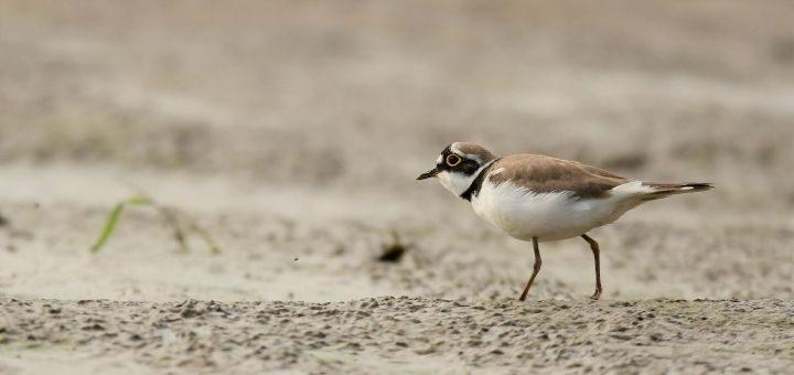 Słownik pojęć ornitologicznych - obrączka powiekowa