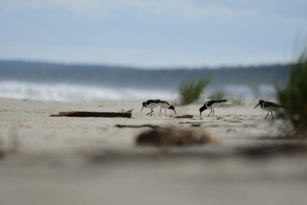 Ostrygojad