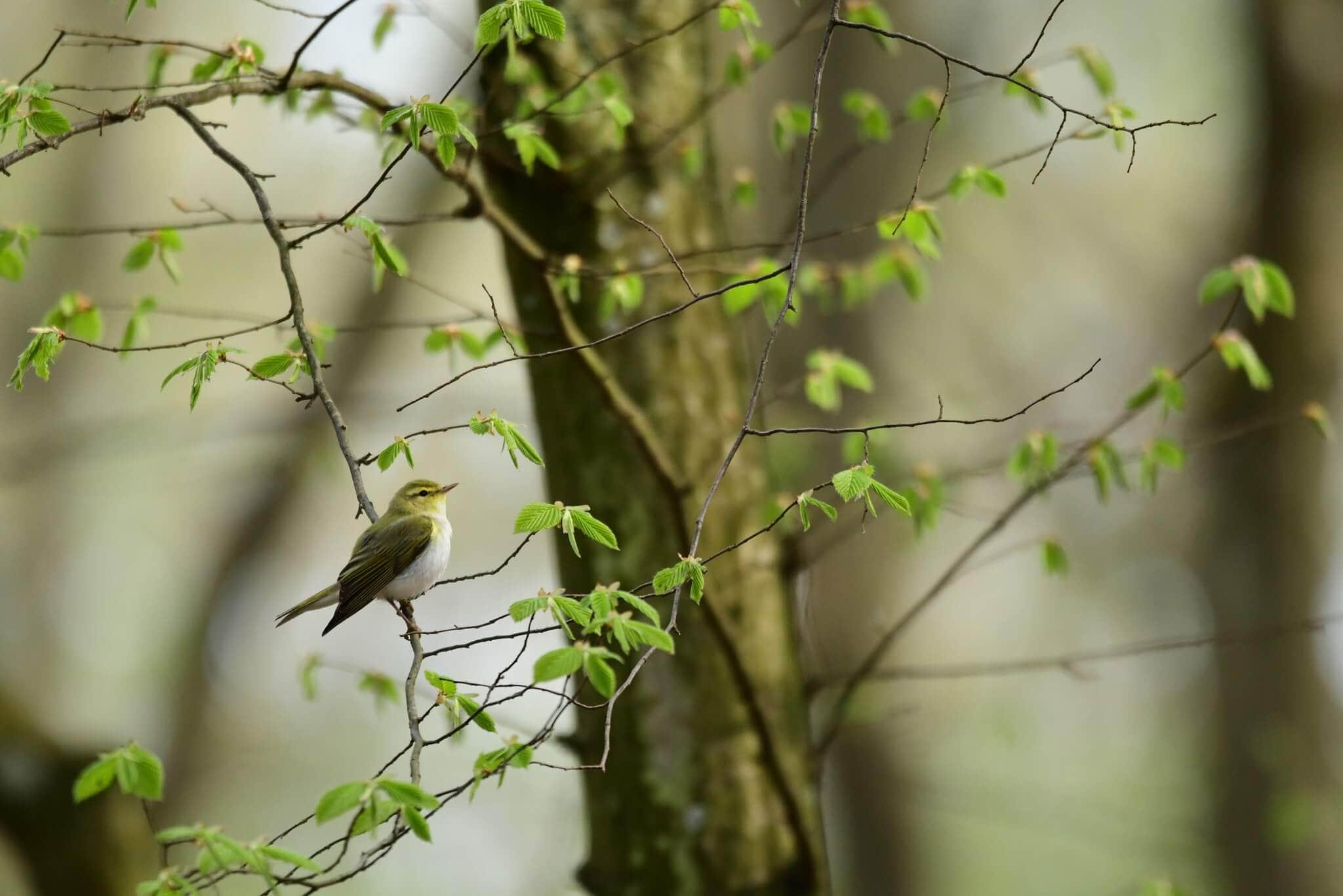 Świstunka leśna