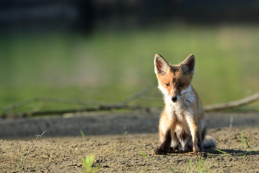Lis rudy